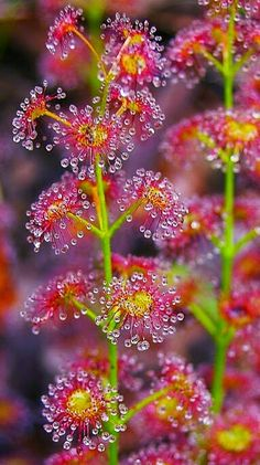 "One of the ""tuberous"" Drosera (Sundew). so beautiful when the light hit's the ""dew"". This species dies back every summer & then puts a new shoot out in the autumn (so the plant is dormant at the time when water is scarce) Unfortunately this makes them rather difficult to grow, but well worth it if you can."