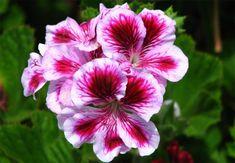 Cum îngrijim mușcatele   Paradis Verde Wisteria, Rose, Art Flowers, Paradis, Ideas, Green, Shapes, Plant, Pink
