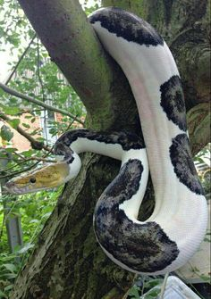 Reticulated Python (Python reticulatus) - Least Concern Pretty Snakes, Cool Snakes, Colorful Snakes, Beautiful Snakes, Colorful Animals, Cute Reptiles, Les Reptiles, Reptiles And Amphibians, Beautiful Creatures