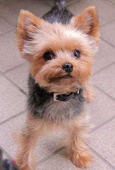 The Popular Pet and Lap Dog: Yorkshire Terrier - Champion Dogs Yorkies, Yorkie Puppy, Cute Puppies, Cute Dogs, Dogs And Puppies, Poodle Puppies, Yorkie Hairstyles, Yorshire Terrier, Top Dog Breeds
