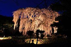 弁天さんのしだれ桜のライトアップはじまってます☆ Cherry Tree, Vineyard, Bloom, Outdoor, Outdoors, Vine Yard, Cherry Blossom Tree, Vineyard Vines, Outdoor Games