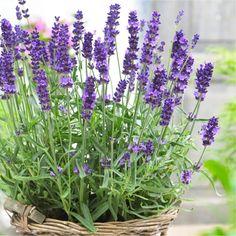 BULK PACK - Lavendula angustifolia Hidcote - English Lavender Hidcote Blue - Pack of TEN Plants