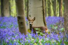 Belgium's Hallebros Forest covered in bluebells #nature