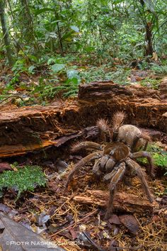 A spider big as a puppy! Although they dine on earthworms, and aren't lethal to humans.--Goliath birdeater in its natural habitat in Suriname.