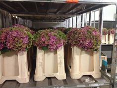 Hydrangea Rodeo Classic - ready for auction @FloraHolland Aalsmeer.  By Rob van Mastwijk