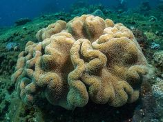 Sarcophyton leather coral, at Lipah Bay, Bali Indonesia