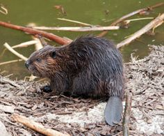 Beaver (Castor Canadensis) in Algonquin Park Canadian Symbols, North American Animals, Discover Canada, Canadian Wildlife, Beaver Dam, Algonquin Park, Beautiful Places To Live, Pond Life, Animals Of The World