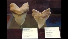 Two fossilized teeth from a megalodon ( Carcharodon megalodon ) dating back more than 20 million years. Their teeth can reach a diagonal length of. The Great White, Great White Shark, Dark Tide, Ocean Photos, Megalodon, Ocean Life, Fossils, Archaeology, Evolution