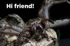 This is a huntsman spider.18 reasons why  a huntsman spider is your BFF