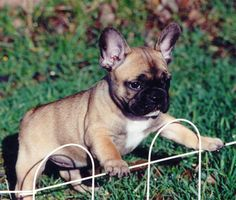 Birthday/Christmas mission. Fawn Frenchie.  Preferably a male. :)
