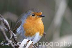 Wildlife Photography of a Robin High by LovingWhisperPhotos