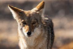 Death Valley Coyote | Flickr