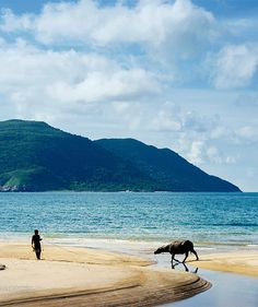 A visit from a friend. Water buffalo passing by Six Senses Con Dao, Vietnam…