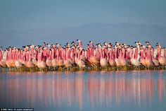 A chain of salt lakes, found at over 4000m high in the Andes, provide a safe refuge for flamingo colonies. They gather here to breed, first performing a peculiar parade dance to select a mate