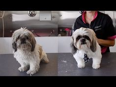 Daily Dog Grooming Routine for Shih Tzu - YouTube