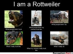 How I used to see Rottweilers, now that I have my own they're exactly like the bottom pictures. So cute