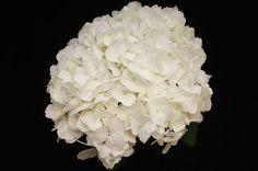 Hydrangea Jumbo White Wholesale Flowers (14 stems)