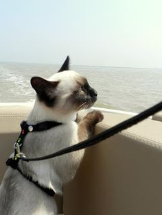 Dressage, Siamese Kittens, Virtual Pet, Photo Chat, Cat Life, Belle Photo, Cat Day, Cats Of Instagram, Cat Lovers