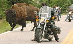 Sturgis Motorcycle Rally + Custer State Park + Wild Buffalo Herds..done that! Awesome!