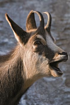 chamois [Rupicapra rupicapra]* 3-4 feet long,  2.5-3 feet tall at the shoulder. Chamois males weigh 65-110 pounds. Females weigh 55-95 pounds. Sexual maturity: 4 years. Mating: October to December. Gestation: 5.5-6 months. # of young: 1, rarely 2. Females and young live in herds. Males are solitary except during mating season. Call: Deep, rumbling bleat. Diet: Grasses, bark, pine needles. Lifespan: Up to 17 years in captivity.