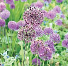 Bee-friendly flowers: Allium 'Purple Sensation'