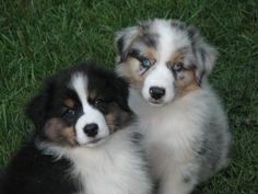 Australian Shepherd pups, the one on the left is my dream dog!!!