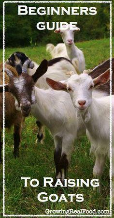 Beginners Guide To Raising Goats. Just in case I decide to start raising goats Cabras Boer, Farm Animals, Cute Animals, Goat Care, Raising Goats, Future Farms, Mini Farm, Goat Farming, Backyard Farming