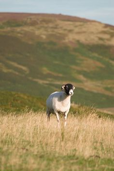 Search Twitter - #sheepoftheweek