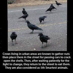 #birds Crows living in urban areas are known to gather nuts then place them in the street for passing cars to crack open the shells. Then, after waiting patiently for the light to change, they return to the street to eat the. They are also considered as 5th Smartest animals.