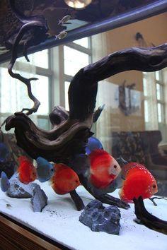 Best Freshwater Aquarium Fish for Custom Tank Designs #TropicalFishAquariumIdeas