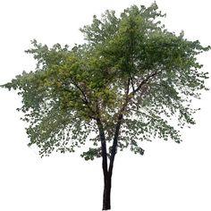 tree png plan Almond-tree - Buscar con Google