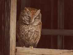 Barn Perch  (Eastern Screech Owl)