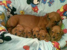 Tired mommy. quintuplet Dashounds