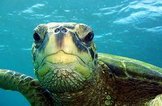 Poipu, Kauai (giant sea turtles!)