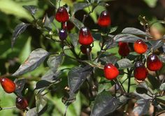 Capsicum annuum. Native to Colombia. Photographed in Cartago, Colombia ...