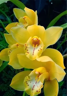 Shade Garden Flowers And Decor Ideas Yellow Cymbidium Orchids Exotic Flowers, Tropical Flowers, Amazing Flowers, Beautiful Flowers, Beautiful Gorgeous, Yellow Orchid, Yellow Flowers, Colorful Flowers, Yellow Plants