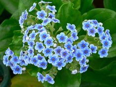 Chatham Island Forget-me-not. Thick, glossy leaves and spectacular blue flowers, are one of the most attractive of New Zealand's herbaceous plants. There is only one species of Myosotidium, and in the wild it grows on exposed coastal sites in the Chatham Islands. In gardens the plant needs shelter from frost and some shade during hot summers. It prefers a well-drained, compost-rich soil.