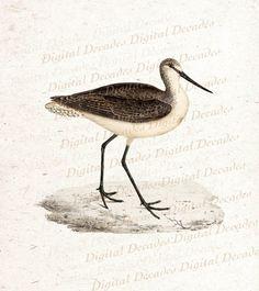 "sandpiper vintage illustration (from ""ktullo"" on etsy)"