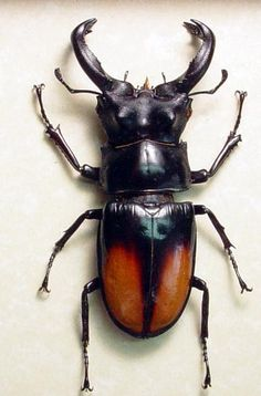 Hexarthrius parryi paradoxus Flying Fighting Stag Beetle