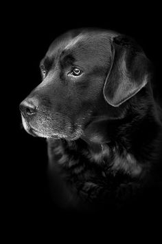 Mind Blowing Facts About Labrador Retrievers And Ideas. Amazing Facts About Labrador Retrievers And Ideas. Schwarzer Labrador Retriever, Perro Labrador Retriever, Dog Photos, Dog Pictures, I Love Dogs, Cute Dogs, Pet Sitter, Lab Puppies, Tier Fotos