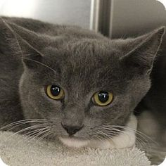 Las Vegas, NV - Domestic Mediumhair. Meet *TROY, a cat for adoption. http://www.adoptapet.com/pet/11846741-las-vegas-nevada-cat