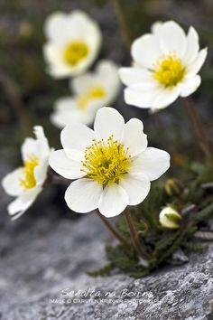 Irish flora Mountain Avens