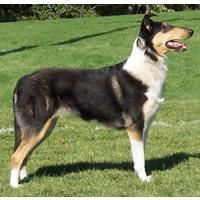 Smooth Collie dog photo | Collie Information, Collie Breeders, Sheltie Puppies For Sale, Photos ...