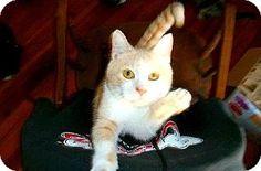 Domestic Shorthair Kitten for adoption  - Squit-Bit