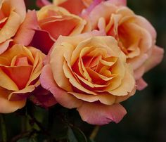 I love this rose and the color it's amazing, I have it in my backyard and it looks so pretty.
