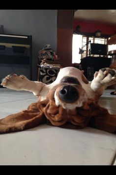 It's nap time! Bassett Hound, Dog Rules, Basset Hound Funny, Basset Puppies, Hound Puppies, Hound Dog, Beagles, Dachshunds, Funny Dogs