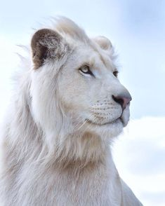 Portrait of Timba (from the Tiger Caress Affiliation) white lion, 2 years outdated. Like all the opposite large cats of this affiliation situated in Normandy, Timba was born in captivity. Huge Cat, Big Cats, Cats And Kittens, Photo Animaliere, Photo D Art, Nature Animals, Animals And Pets, Beautiful Cats, Animals Beautiful