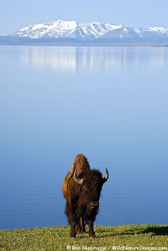 Buffalo on the shores of Yellowstone Lake, Yellowstone National Park, Wyoming.  Bos Bison  Photo by:  Ron Niebrugge/Wildnatureimages.com