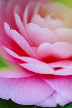#dettaglio #fiore #petali #rosa #primavera