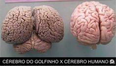 Cérebro de golfinho e cérebro humano!